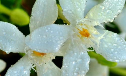 жасмин Jasminum officinale